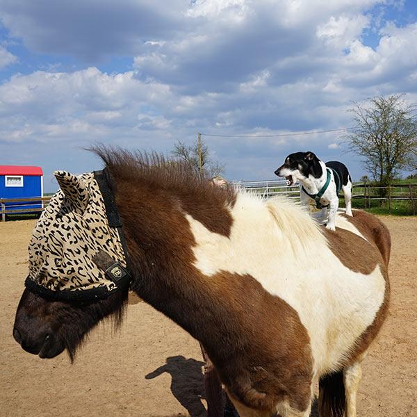 Meine_Pferde_600x600_-Skjalfti
